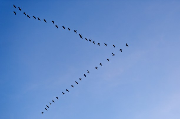 snow-geese-in-formation