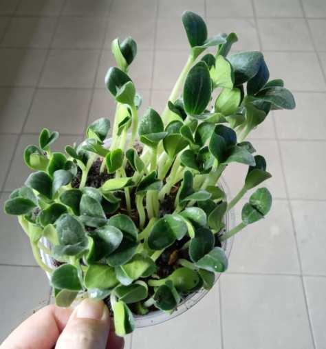 Seedlings-germinated-from-pumpkin-seeds