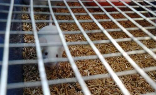 Tikus dan mencit sebagai hewan percobaan