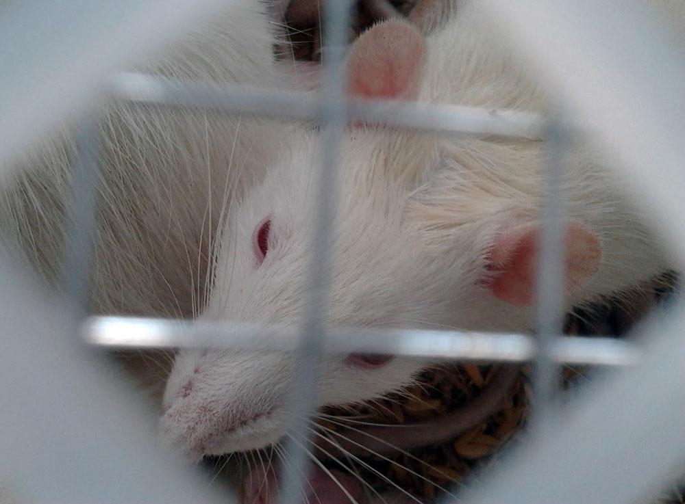 Tikus sebagai hewan percobaan