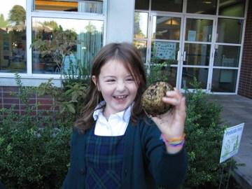 Grade 3 Potato Harvest