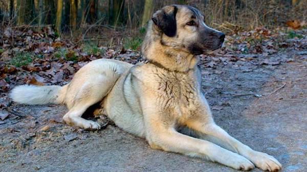 Порода кангал: фото, описание породы волкодав ...