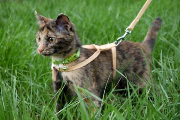 Как правильно на кота надеть шлейку – пошаговая инструкция ...