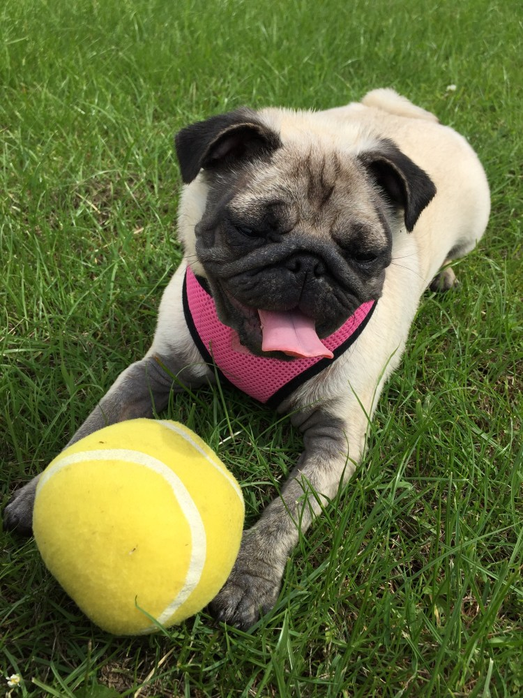 Pug diaries -The tale of the disappearing rabbit and other strange events (2/6)