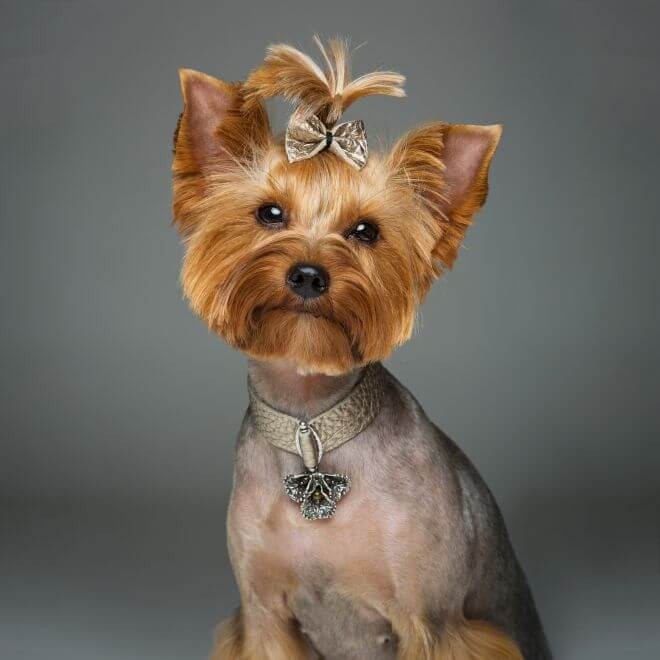 beautiful-yorkshire-terrier