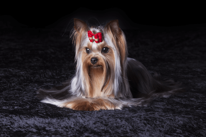 Yorkshire Terrier: Brief Information