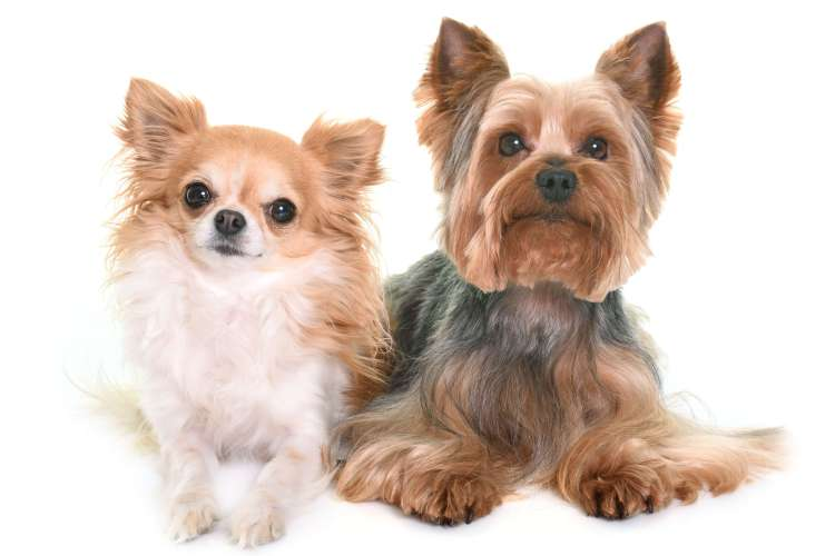Is the Yorkshire Terrier the Right Breed for You