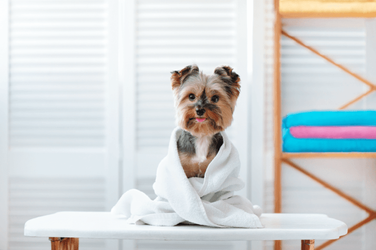 Yorkie pregnancy stages