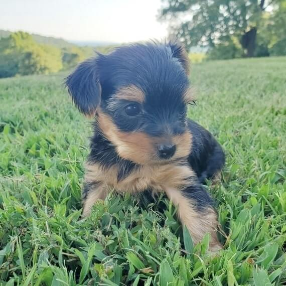 Teacup Yorkie puppies for sale near me