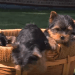 Four Yorkie Puppies First time on Grass