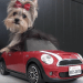 Yorkie Misa Minnie and her Charming Dog Tricks