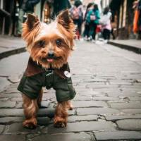 Yorkie, the Cutest TV anchor in the World