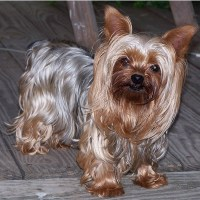 Brushing a Yorkshire Terrier