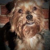Aggressive Behavior in Yorkshire Terriers