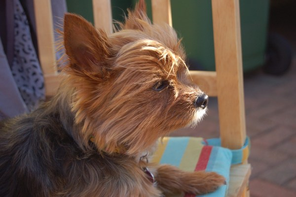 What To Do When Your Yorkie Heat Cycle