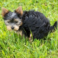 5 Ways to Potty Train a Yorkshire Terrier