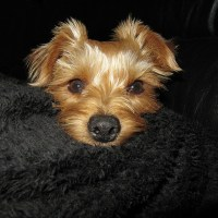 Encephalitis in Yorkshire Terrier