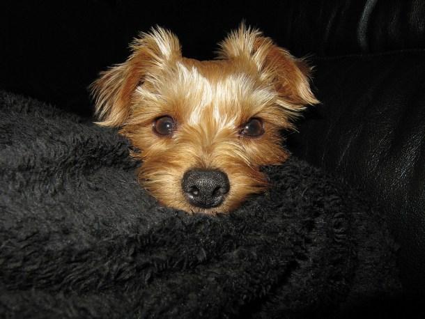 Encephalitis in Yorkshire Terrier