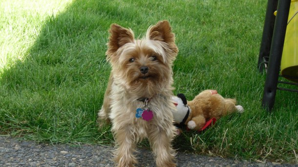 Guide to Yorkshire Terrier Breed