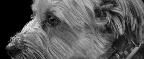 Yorkshire Terrier Eye Problems