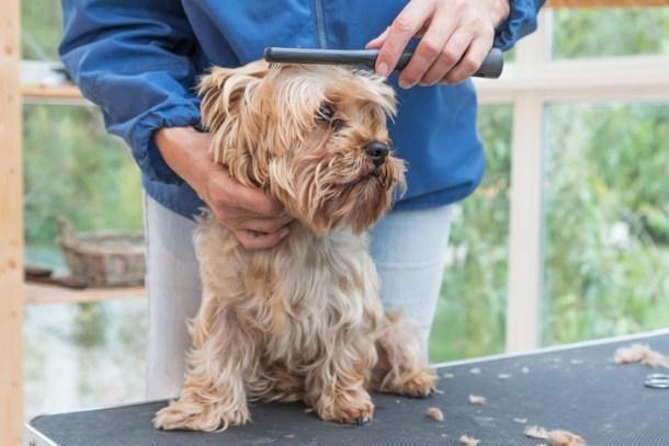 Hair Loss in Yorkshire Terriers