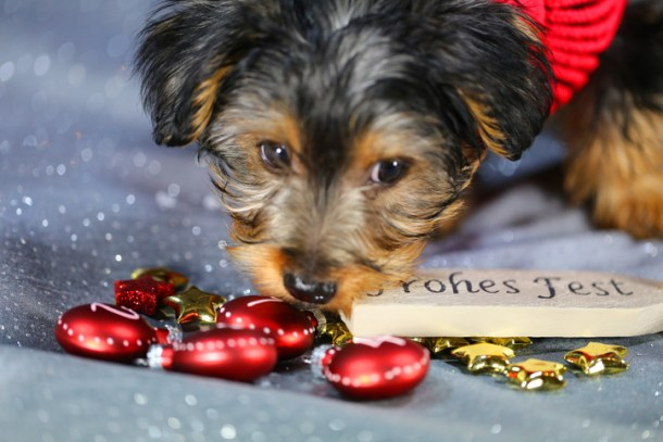 Risk of Chocolate Poisoning in Yorkies