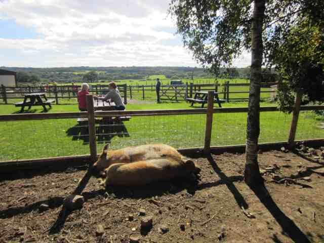 Goodalls - Pigs & Picnic Talbles yorkshire farms