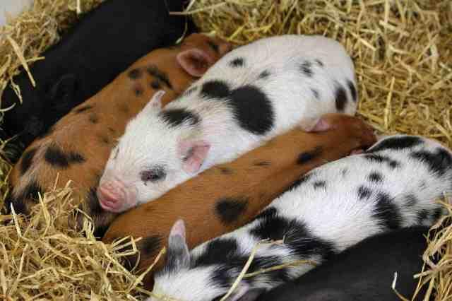 yorkshire farms pigs