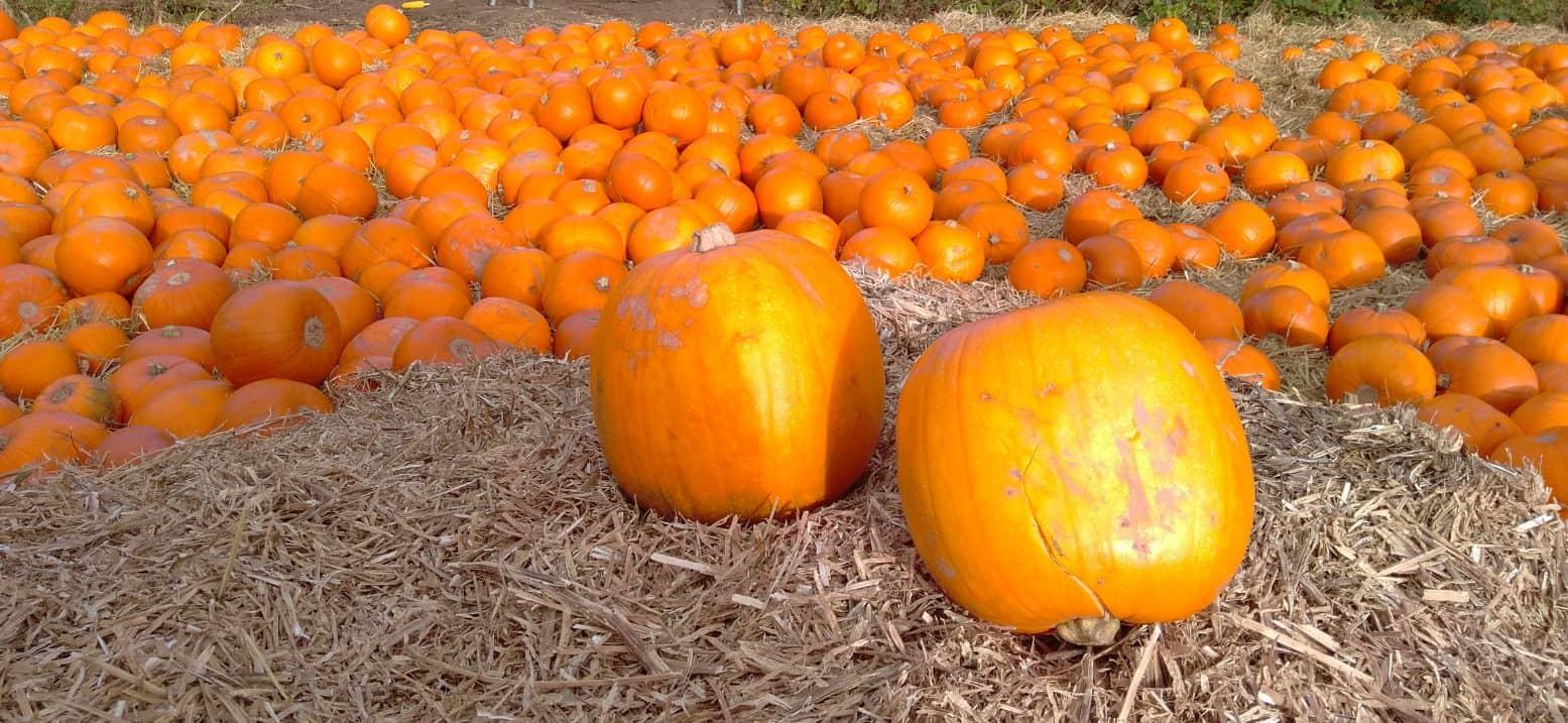 Giant Singing Pumpkins, Halloween at York Maze