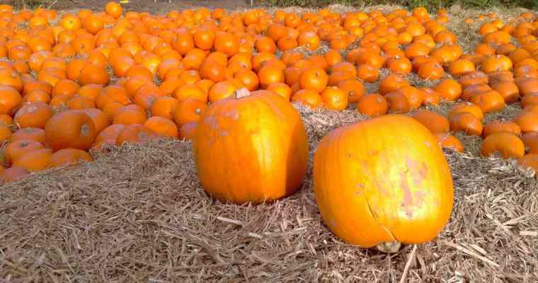 Giant Singing Pumpkins, Halloween at York Maze