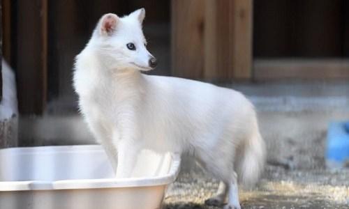 大内山動物園に白いタヌキが2匹いる?混雑しない日と時間帯は?