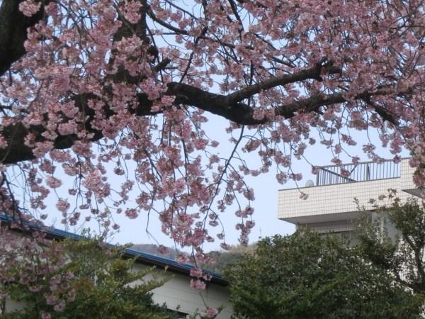 旧きよ仲近くの桜