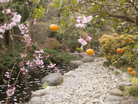 池のそばの枝垂れ桜とみかん