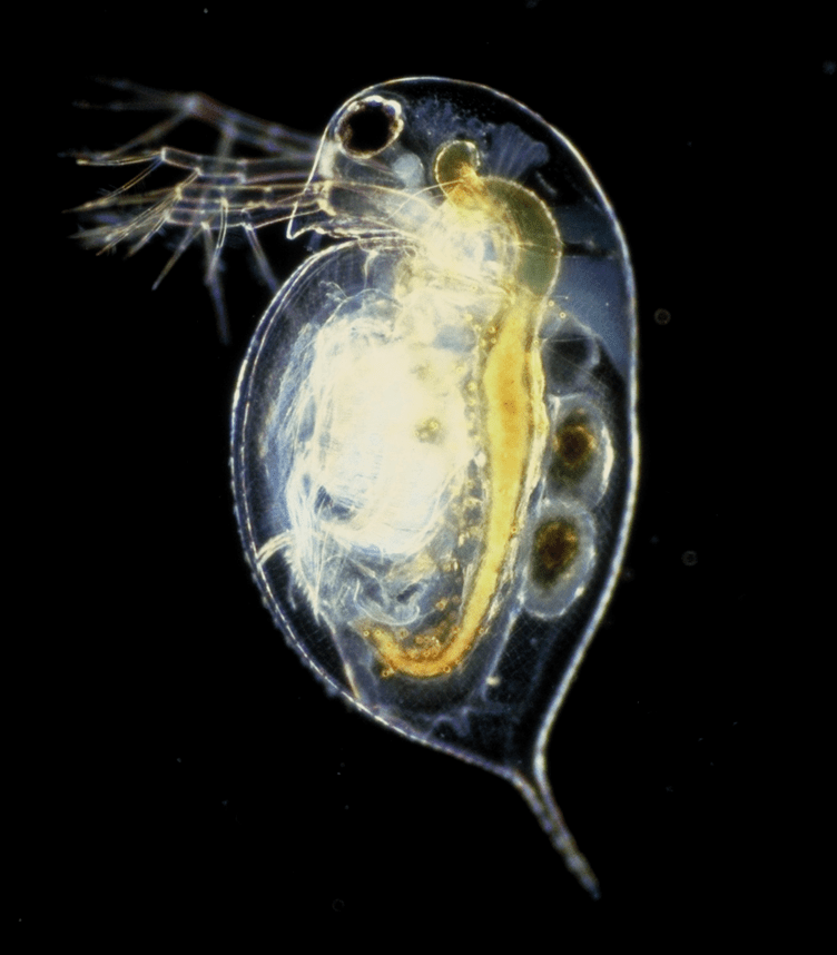 ミジンコやろう[https://upload.wikimedia.org/wikipedia/commons/4/4e/Daphnia_pulex.png]