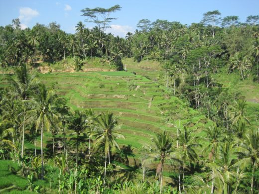 Beautiful Rice fields near Ubud, Bali, Indonesia