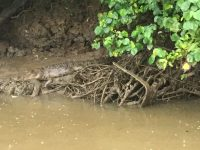 Daintree River, Croocodile Tour