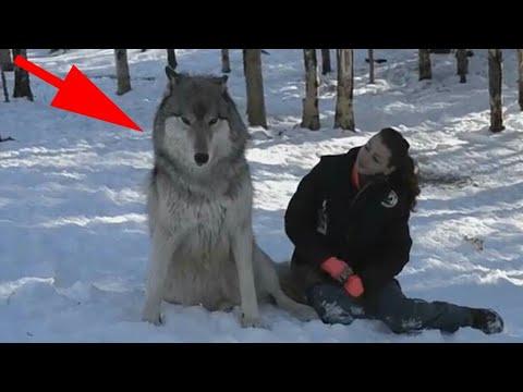 Волк подошел к девушке и присел рядом, все замерли в ожидании…