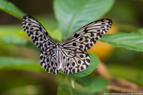 kinabatangan sabah malaysia borneo butterfly