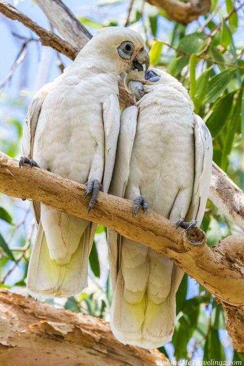 australia-kakadu-cockatoo-7002