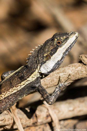 litchfield-australia-lizard-wildlife-6719