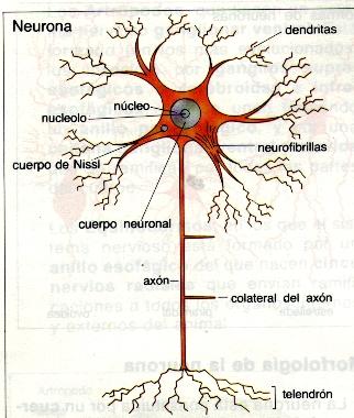 El Sistema Nervioso (III): Células del Sistema Nervioso (3/6)