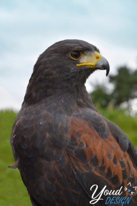 Harris Hawk - The Scottish Deer Centre