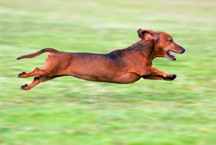 Dachshund Runs Marathon For A Good Cause