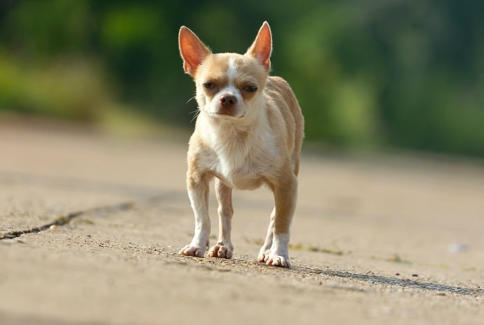 Image result for patellar luxation chihuahua