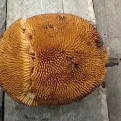 Entawak Fruit (Artocarpus anisophyllus, Mentawa, Bintawa)