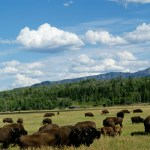 Bison grazing outside the Grand Tetons