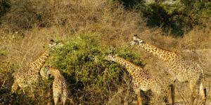 Giraffes eating