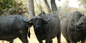 Cape buffalo with oxpecker on back.