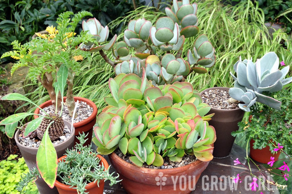 You Grow Girl Crazy Caudiciforms Succulents Dyckia And Other Wonderful Plants In Barry S Garden