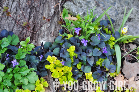 Creeping Jenny Lawn You Grow Girl - Roses ...